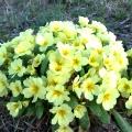 keltainen kevätesikko