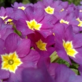 pinkki kevätesikko