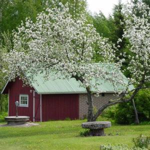 Temolan omenapuu